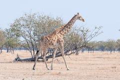 Namibian giraffe, giraffa camelopardalis angolensis, walking. A Namibian giraffe, giraffa camelopardalis angolensis, walking in the Northern part of Namibia Royalty Free Stock Photos
