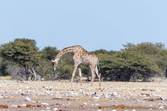 Namibian giraffe, Giraffa camelopardalis angolensis, walking wit. A Namibian giraffe, Giraffa camelopardalis angolensis, walking with bowed head through a field Stock Image