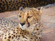 Namibian Jachtluipaardstarende blik royalty-vrije stock afbeeldingen