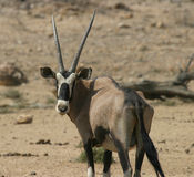 Namibian oryx antelope. Curious oryx antelope in the african bushland looking at the camera royalty free stock images