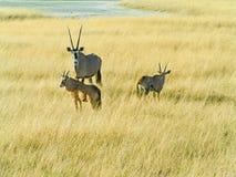 Namibian Oryx Royalty Free Stock Images