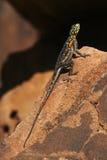 Namibian Rock Agama - Namibia Stock Image