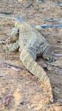 Namibian Rock monitor lizard varanus albigularis. Namibian rock monitor lizard moving away. Location Warmwaterberge, Namibia. This lizard was about 1.2m long stock image