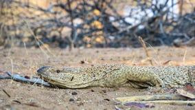 Namibian Rock monitor lizard varanus albigularis. Location Warmwaterberge - Namibia. He was about 1.2m long royalty free stock photos