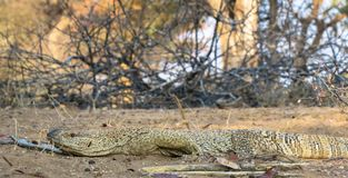 Namibian Rock monitor lizard varanus albigularis. Nambian rock monitor lizard in natural environment varanus albigaris Location Warmwaterberg area, Namibia stock photography
