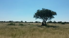 Namibian savannah. Mimosa tree and anthill Stock Images