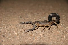 Namibian scorpion. Close shot of a scorpion on a brown soil. Namibia. Africa Stock Photo