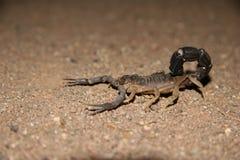 namibian scorpion Arkivfoto