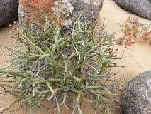 Namibian Woestijninstallatie Stock Afbeeldingen