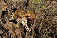 Namibie leopard Royalty Free Stock Photography