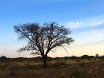 Namibien - arbre d'épine de chameau Images libres de droits