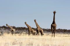 Namibijskie żyrafy Fotografia Stock