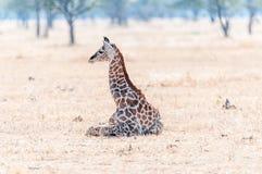 Namibische Giraffe, die auf dem Gras liegt Stockbild
