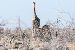 Namibische Giraffenkuh mit einem Kalbsäugling Lizenzfreies Stockfoto