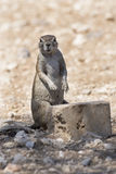 Namibisches Eichhörnchen Lizenzfreies Stockbild