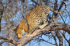 Namibisk Leopard Royaltyfri Bild