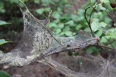 Namiotowe gąsienicy Zdjęcie Royalty Free
