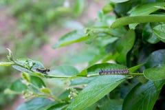 Namiotowy Caterpillar na Bush Fotografia Royalty Free