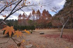 Namisum Island South Korea maple red leaf. Nami Island South Korea Autumn leaf Maple stock photography