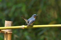 Namn för blå flugsnappare för kulle vetenskapligt: Cyornis banyumas Arkivbilder