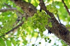 Namn för morYom Thai infött frukt Arkivbild