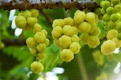 Namn för morYom Thai tropisk frukt för infött frukt Arkivfoton