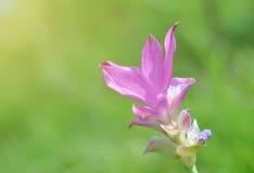 Namnet för Thailand blommarosa färger är Krachiew arkivfoto