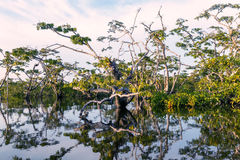 Namorzynowi drzewa, Cuyabeno park narodowy Fotografia Royalty Free