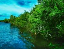 Namorzynowi drzewa w lesie przy ujściem rzeka w Tajlandia, Obrazy Royalty Free