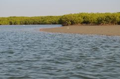 Namorzynowi lasy w Saloum delty rzecznym terenie, Senegal, afryka zachodnia Zdjęcia Royalty Free