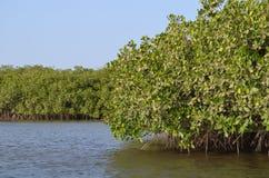 Namorzynowi lasy w Saloum delty rzecznym terenie, Senegal, afryka zachodnia Obrazy Royalty Free
