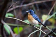 Namorzynowy Błękitny Flycatcher (kobieta) Zdjęcia Royalty Free