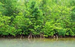 Namorzynowy bagno w Petit kanale w Guadeloupe Obrazy Stock