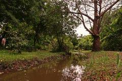 Namorzynowy jabłko i mangrowe w ogródzie botanicznym Obrazy Stock