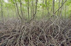 Namorzynowy las (drzewa zawierają Rhizophoraceae, Ceriops, tagal, d Zdjęcie Stock