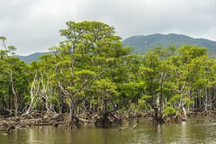 Namorzynowy las Nakama rzeka Zdjęcia Stock
