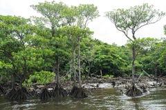 Namorzynowy las przy Nakama rzeką w Iriomote wyspie Obraz Stock
