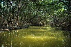 Namorzynowy las Ria Celestun jeziorem zdjęcia royalty free