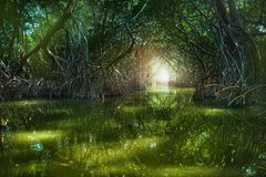 Namorzynowy las Ria Celestun jeziorem obraz stock