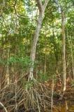 Namorzynowy las w Sian Kaan, biosfery rezerwa, Quintana Roo, Meksyk Obrazy Stock