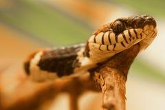 Namorzynowy węża Boiga dendrophila obraz stock