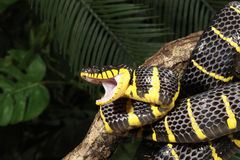 Namorzynowy wąż (Boiga dendrophila) Zdjęcia Stock