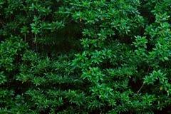 Namorzynowych drzewa Forest Green liści Parkowy tło fotografia stock