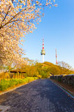 Namsan Tower Cherry Blossom Mountain Path Seoul. Walking path lined by colorful blossoming pink cherry blossom tree and city wall lead to Namsan Tower or N Seoul Stock Photos