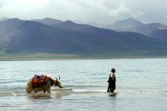 Namtso lake with yak. Namtso lake is a very crowded destination in Tibet. There are so many visitors in summer - include the Chinese photographers. Thousands of Stock Images