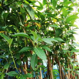 Nan fui chao tree Stock Image