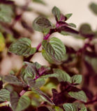 Spearmint plant Stock Photos