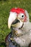 nana Rouge-et-verte de macaw (chloroptera d'Ara) photographie stock libre de droits