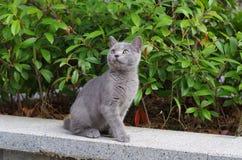 Nanchino - 28 agosto 2017 - un gatto dai capelli corti britannico che cerca il cielo blu immagini stock