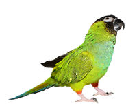 Nanday Conure Stock Image